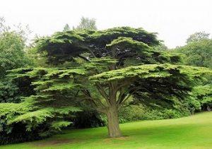 LIBAN - CEDARS