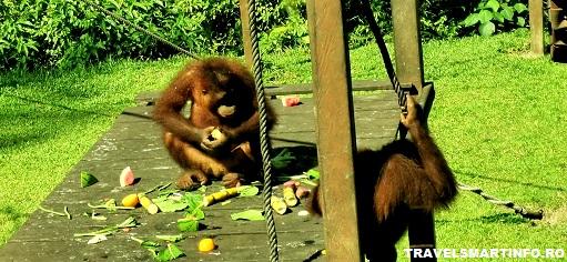 Sepilok - invatarea puilor de orangutani