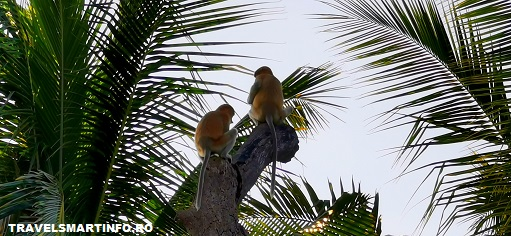 """Maimutele Proboscis - """"nas lung"""""""
